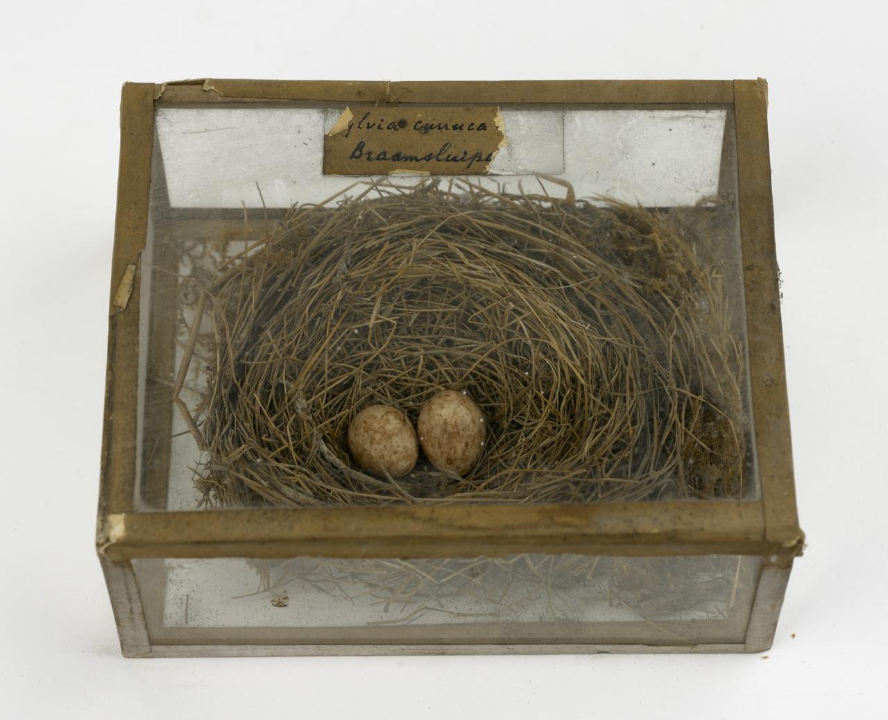 Nest met eieren van braamsluiper