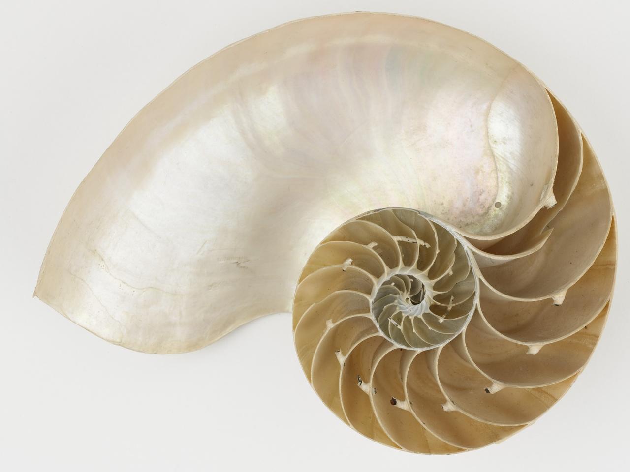 Nautilus pompilius L.