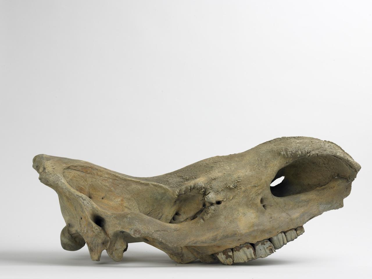 Schedel van een wolharige neushoorn -cranium compleet P2 sin. ontbreekt