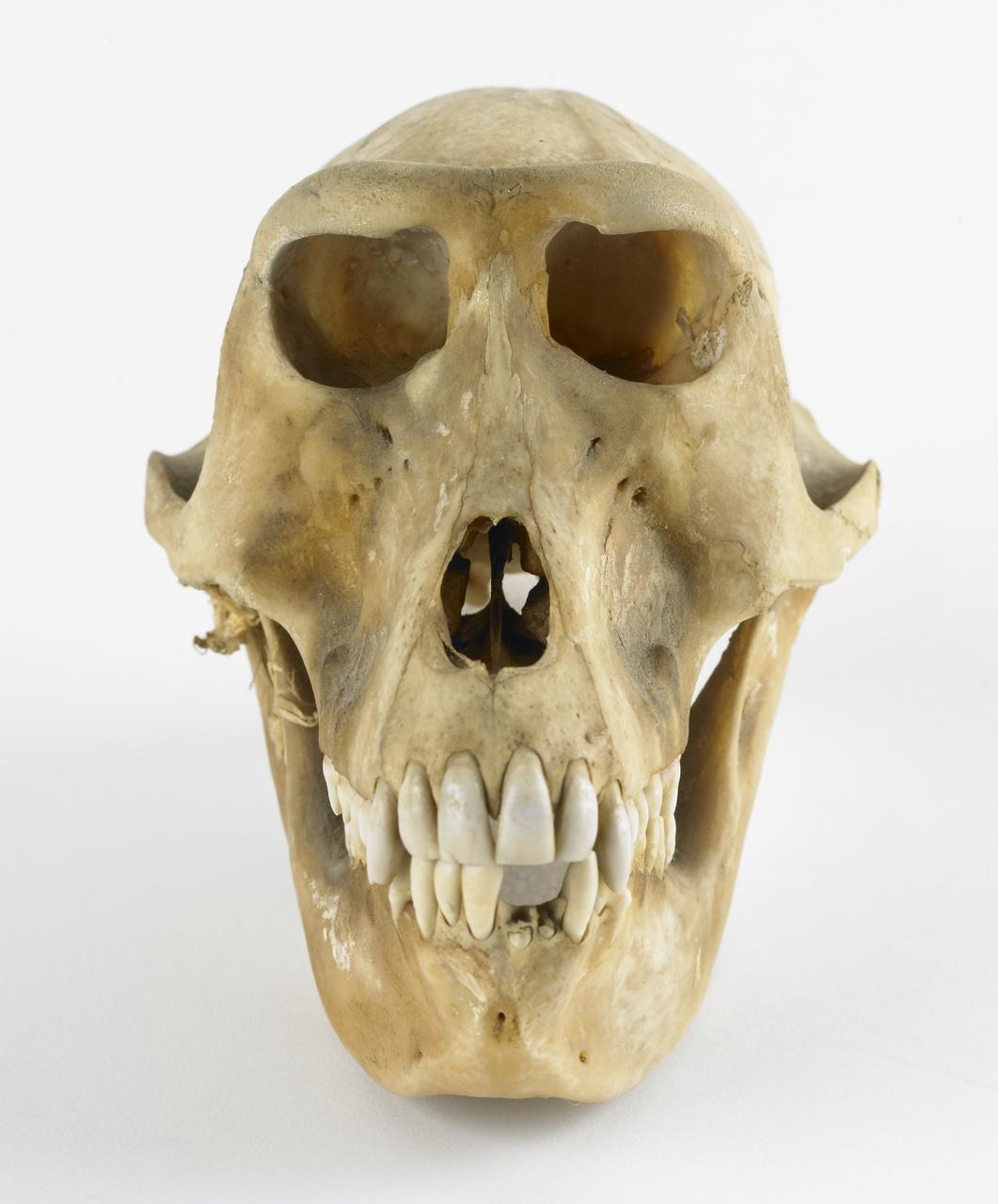Schedel van een makaak (cynopithecus niger)