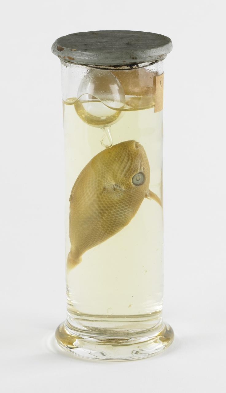 Rhinecanthus aculeatus(Linnaeus, 1758), Hoornvis, alcoholpreparaat