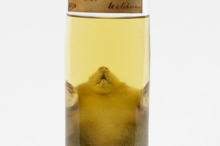 Talpa europea Linnaeus, 1758, Mol, alcoholpreparaat