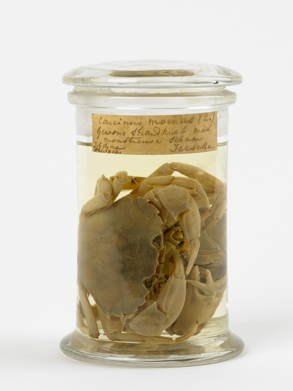 Carcinus maenas (Linnaeus, 1758), Strandkrab, alcoholpreparaat
