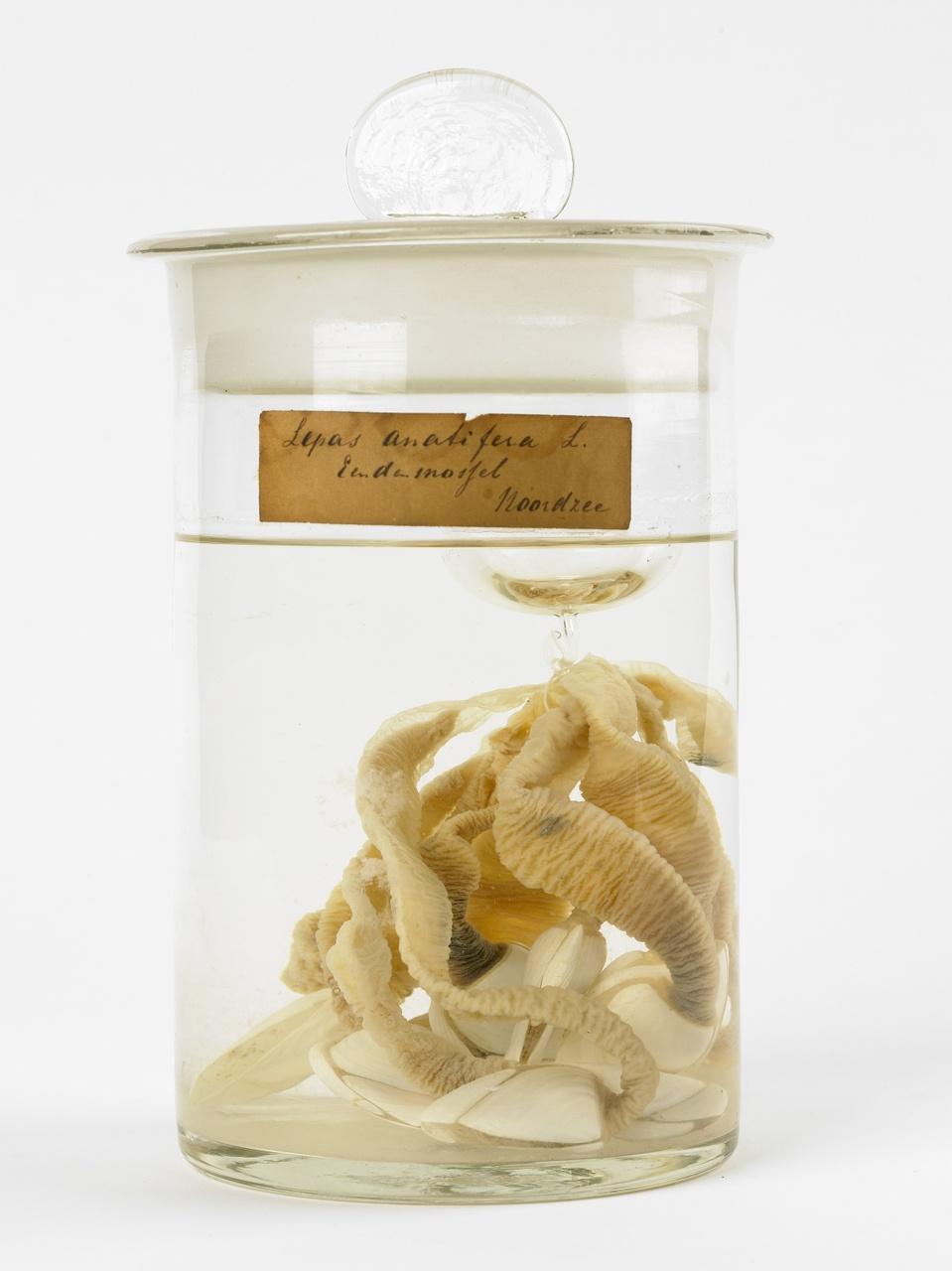 Lepas anatifera Linnaeus, 1758, Gewone eendemossel, alcoholpreparaat