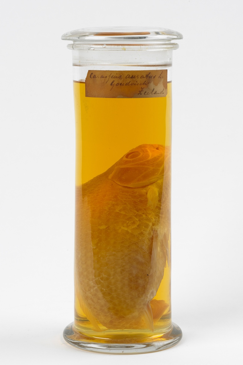 Carassius auratus Linnaeus, 1758, Goudvis, alcoholpreparaat