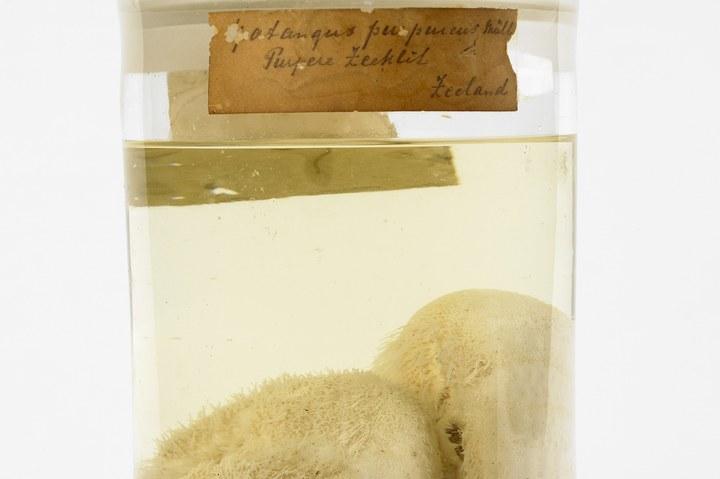 Spatangus purpureus O.F. Müller, 1776, Paarse zeeklit, alcoholpreparaat