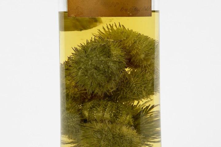 Psammechinus miliaris (Müller, 1771), Gewone zeeappel, alcoholpreparaat