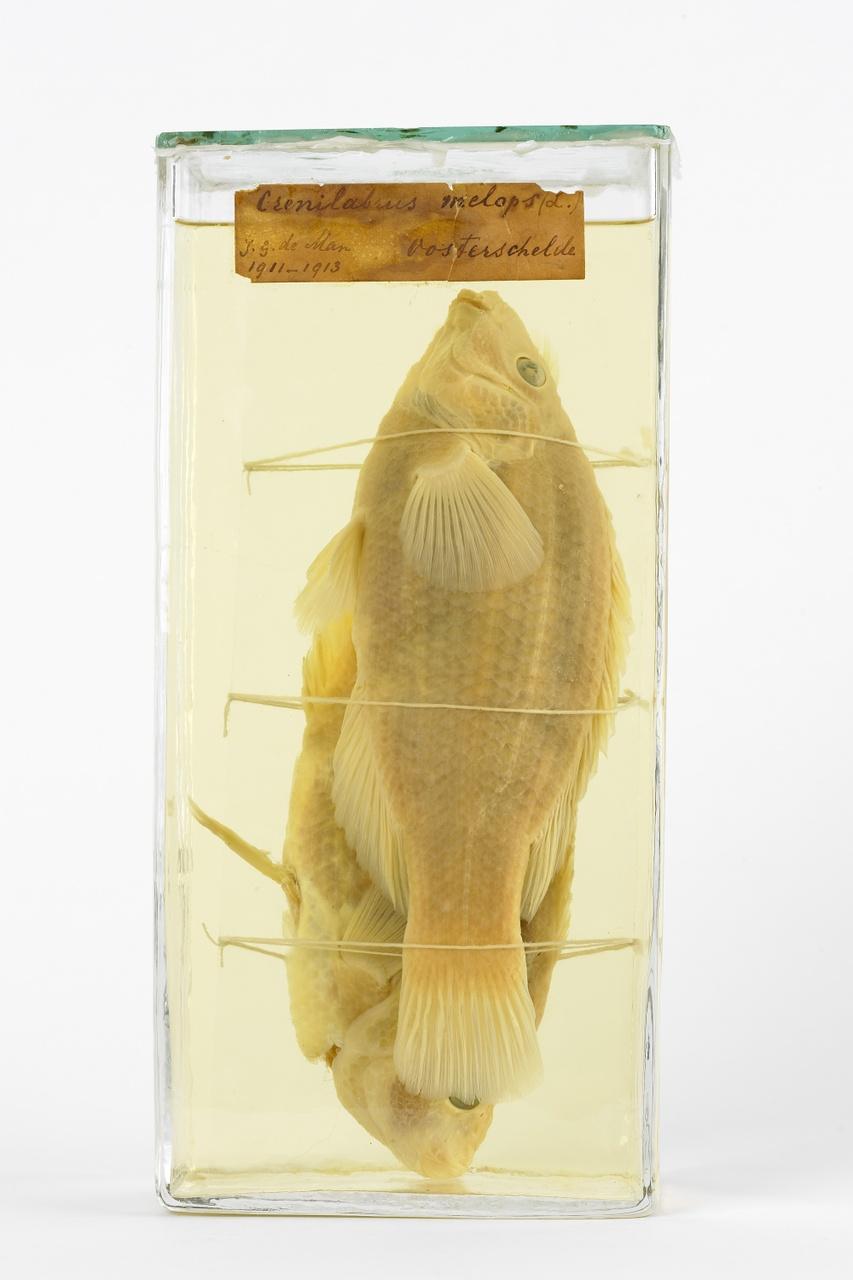 Labrus bergylta Ascanius, 1767, Heilbot, alcoholpreparaat