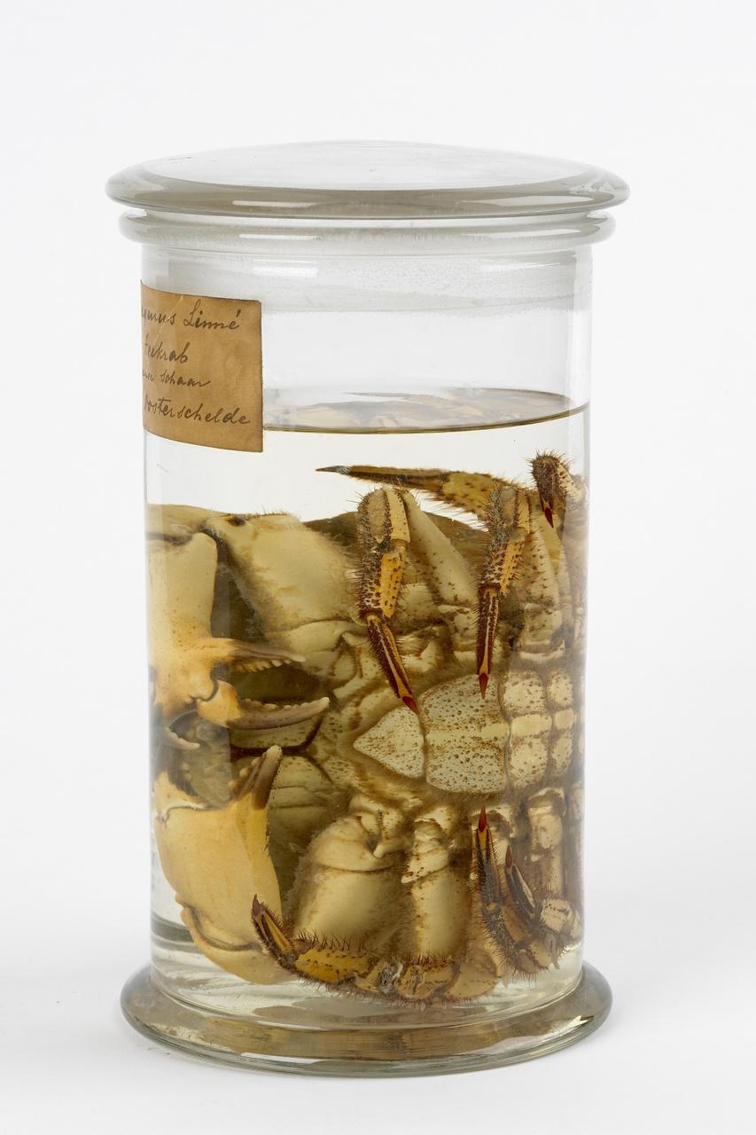 Cancer pagurus Linnaeus, 1758, Noordzeekrab, alcoholpreparaat