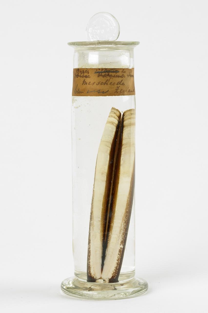 Solen marginatus Pulteney, 1799, Messchede, alcoholpreparaat