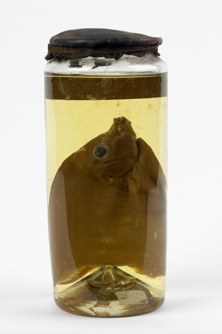 Pomacanthus annularis (Bloch, 1787), alcoholpreparaat