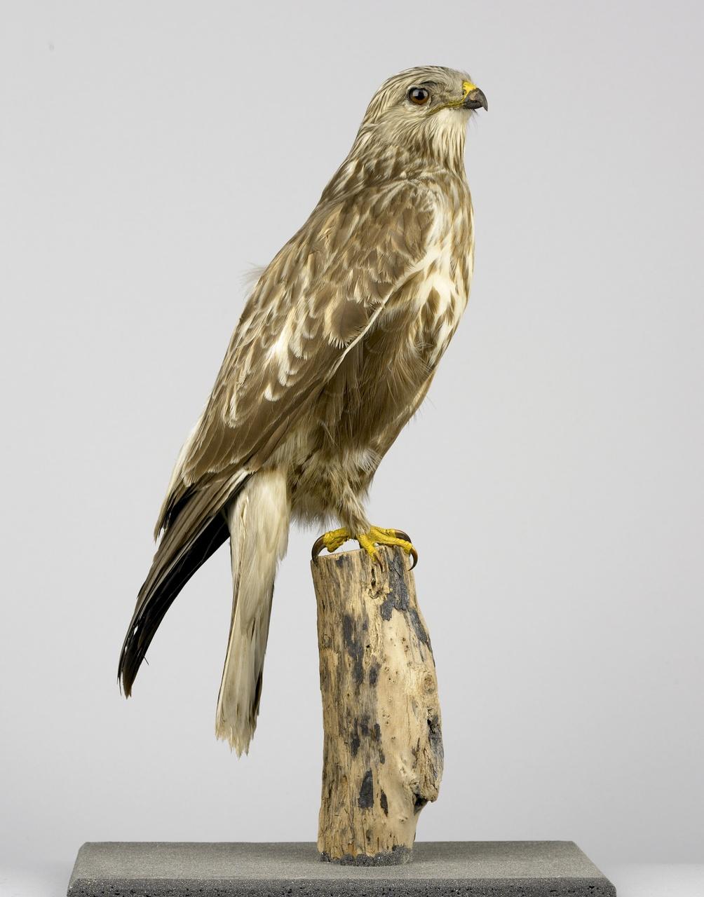 Buteo lagopus (Pontopiddan, 1763), Ruigpootbuizerd, opgezette vogel