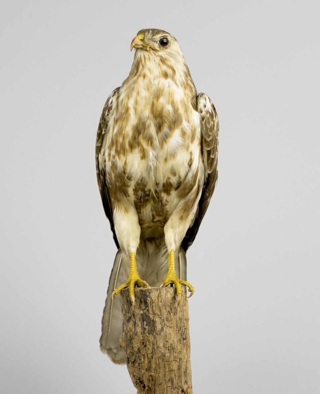Buteo buteo (Linnaeus, 1758), Buizerd, opgezette vogel