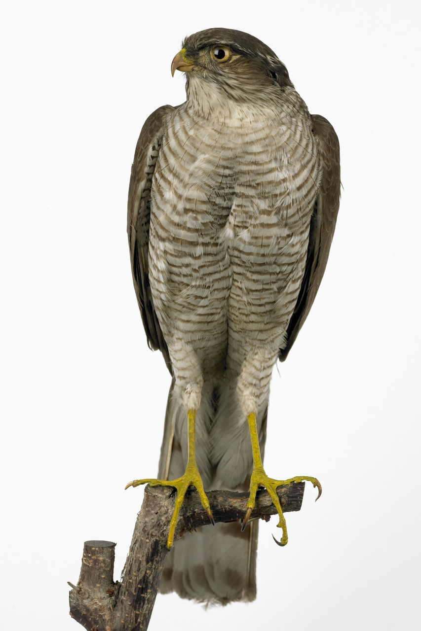 Accipiter nisus (Linnaeus 1758), Sperwer, opgezette vogel