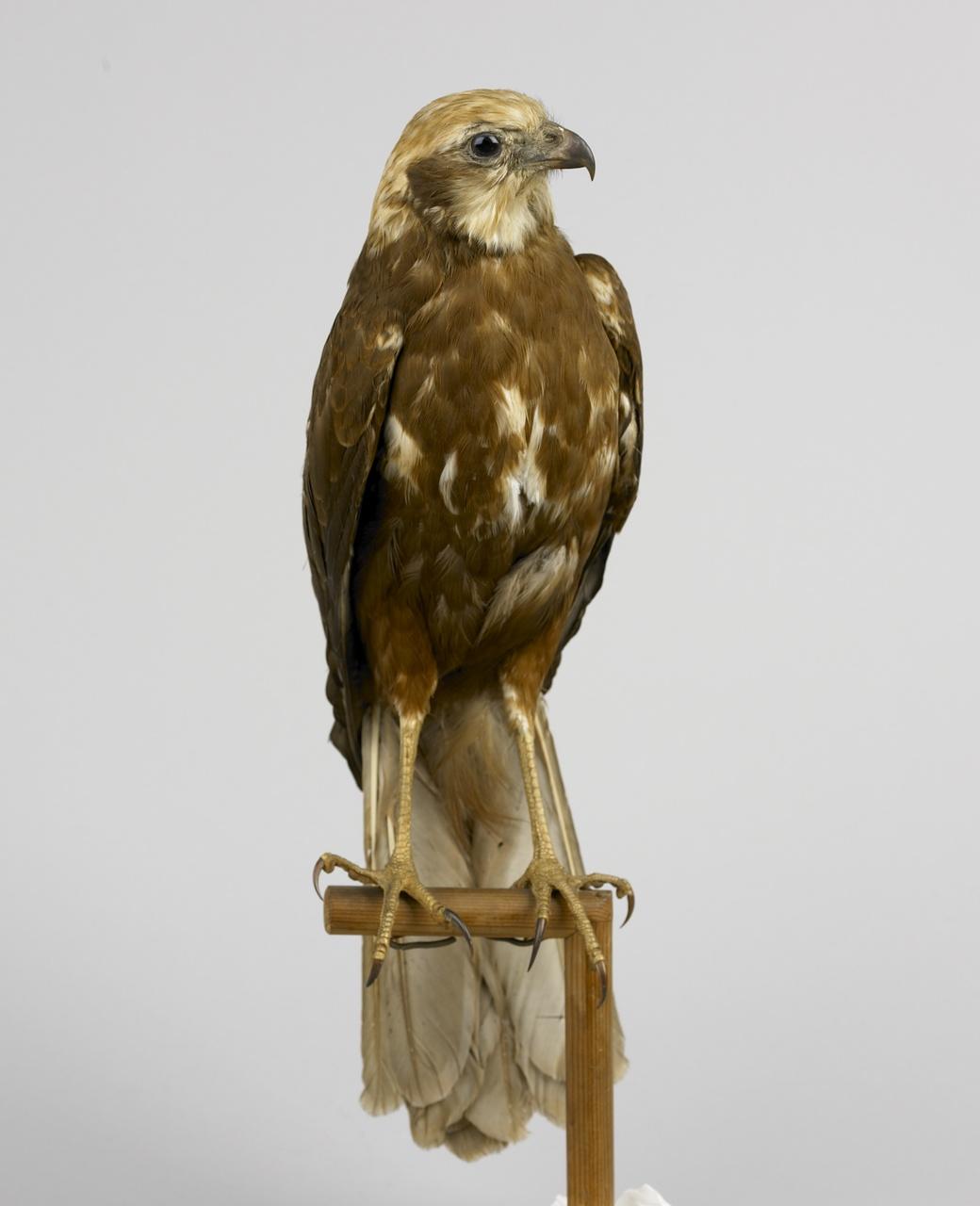 Circus aeruginosus (Linnaeus, 1758), Bruine kiekendief, opgezette vogel