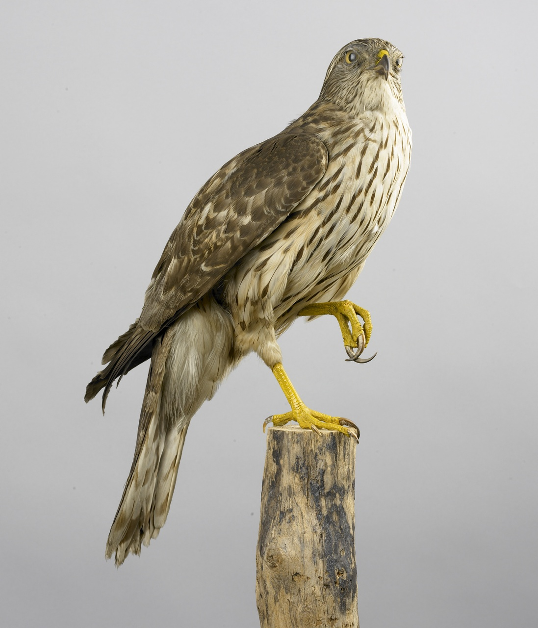 Accipiter gentilis (Linnaeus, 1758), Havik, opgezette vogel