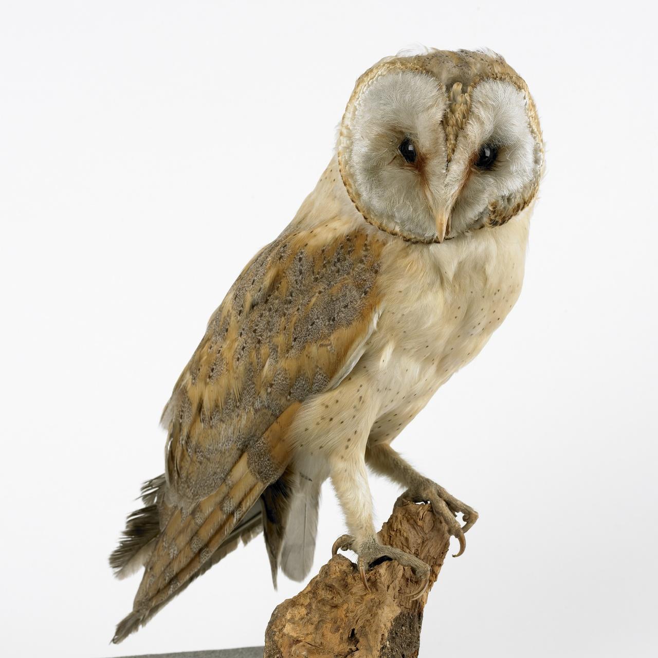 Tyto alba (Scopili, 1769), Kerkuil, opgezette vogel