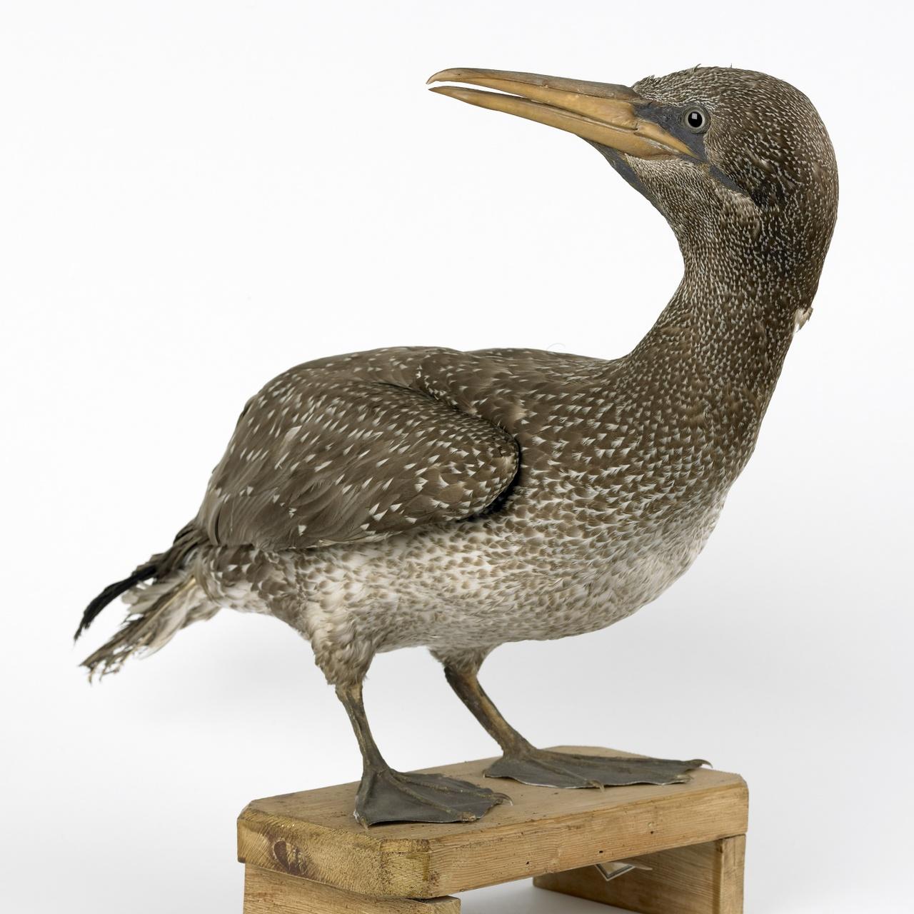 Gavia stellata Pontopiddan, 1771, Roodkeelduiker, opgezette vogel