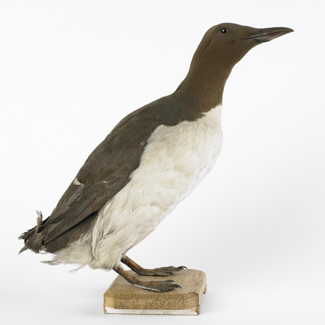 Uria aalge (Pontopiddan, 1763), Zeekoet, opgezette vogel