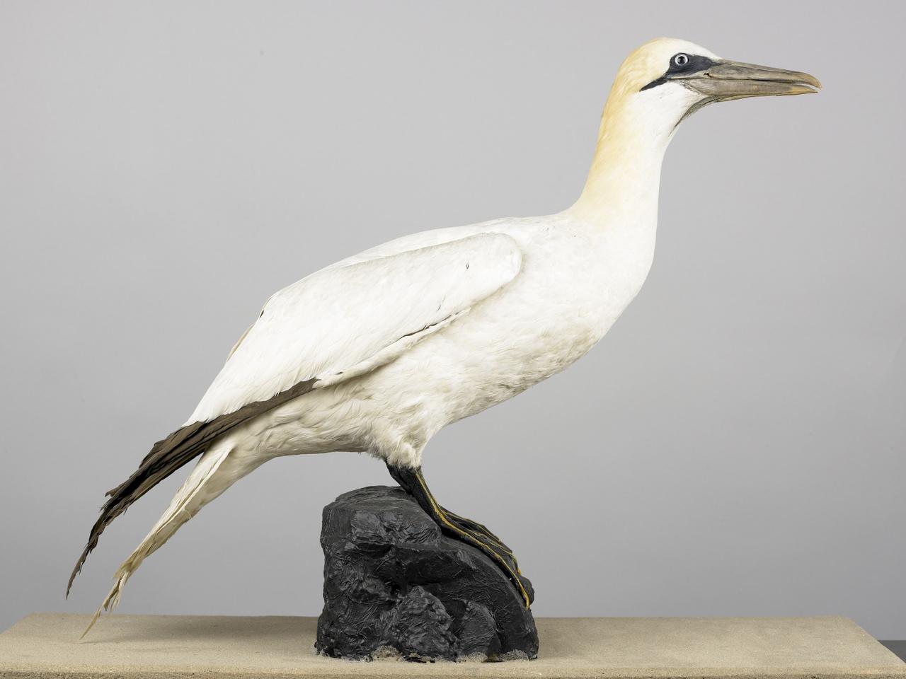 Morus bassana (Linnaeus, 1758), Jan van Gent, opgezette vogel