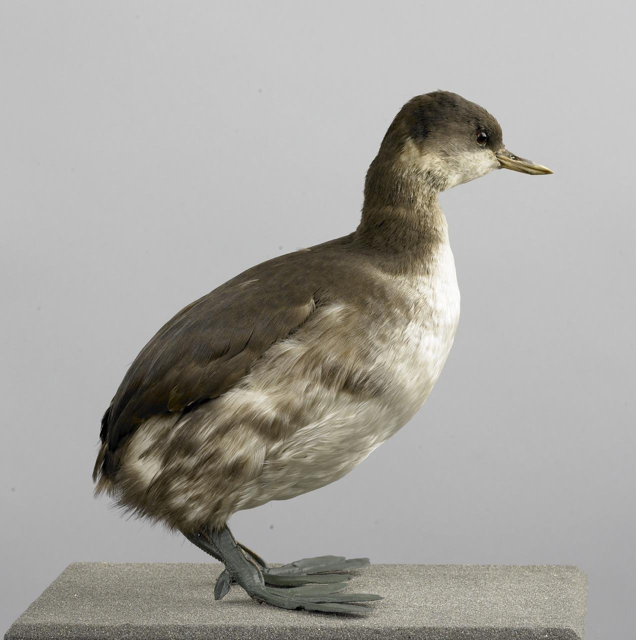 Tachybaptis ruficollis (Pallas, 1764), Dodaars, opgezette vogel