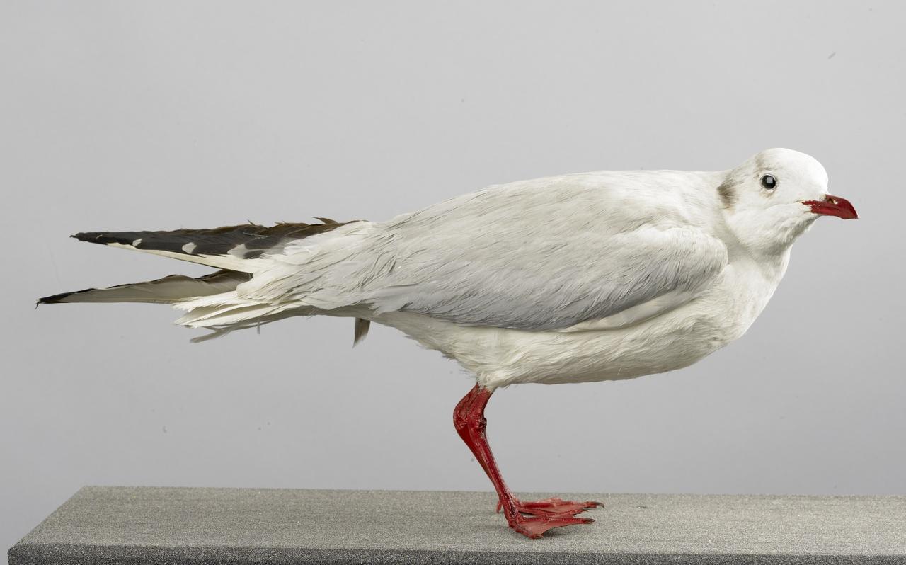 Chroicocephalus ridibundus Linnaeus, 1758, Kokmeeuw, opgezette vogel