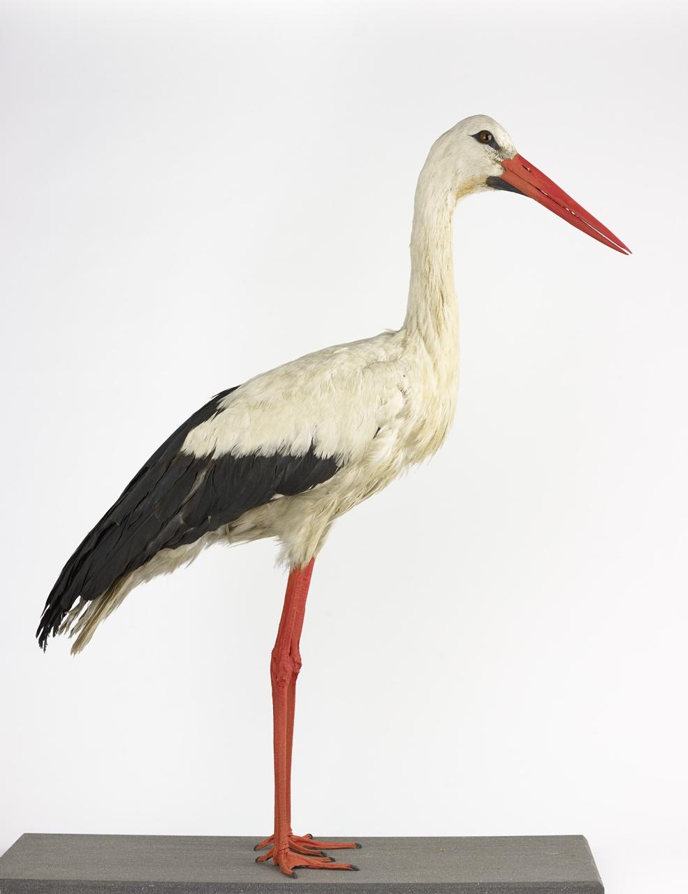 Ciconia ciconia (Linnaeus, 1758), Ooievaar, opgezette vogel