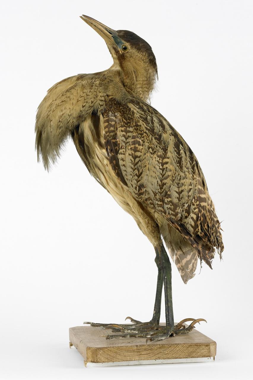 Botaurus stellaris Linnaeus, 1758, Roerdomp, opgezette vogel