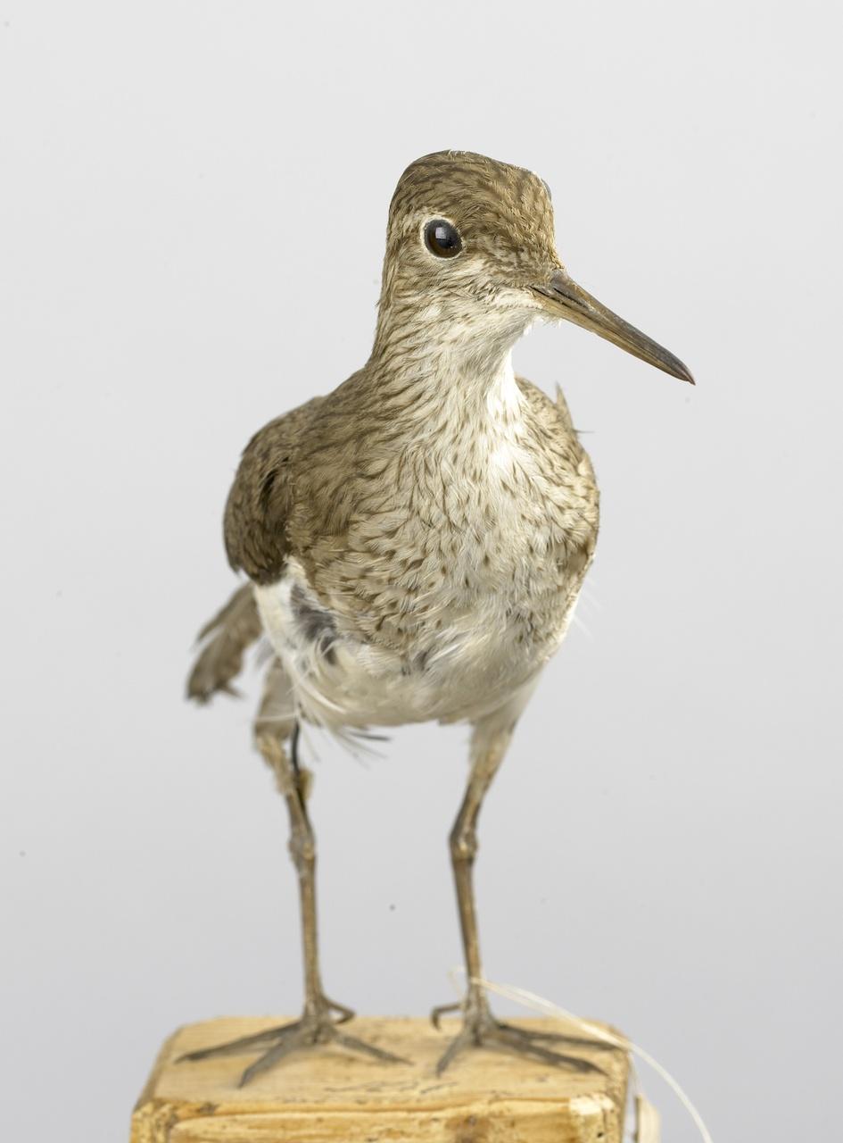 Calidris alba (Pallas, 1764), Drieteenstrandloper, opgezette vogel