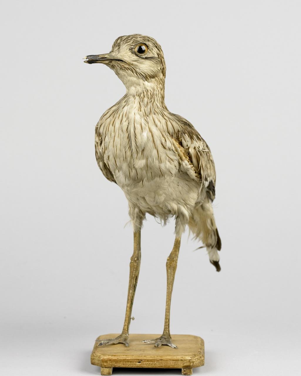 Burhinus oedicnemus (Linnaeus, 1758), Griel, opgezette vogel