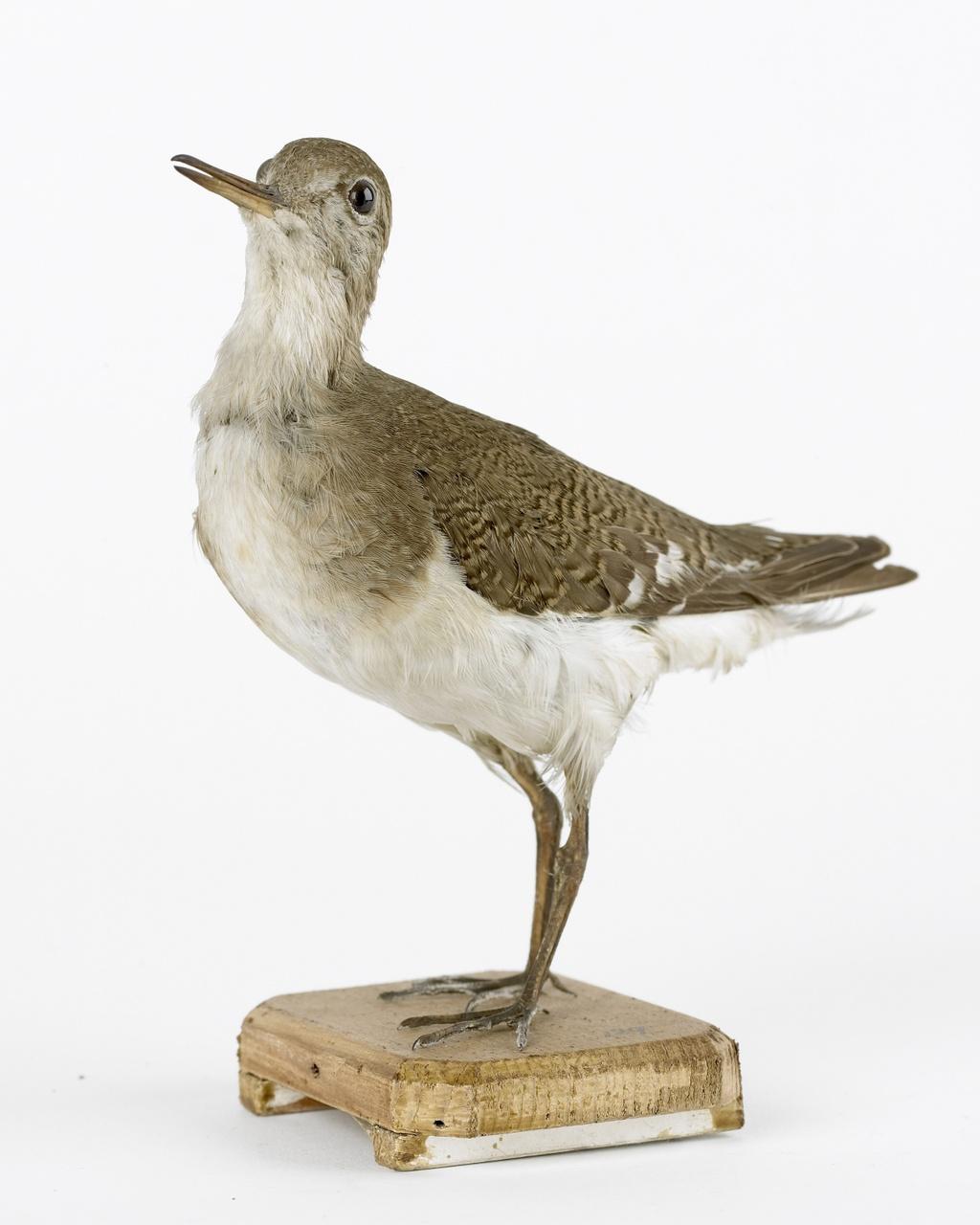 Actitis hypoleucos (Linnaeus, 1758), Oeverloper, opgezette vogel