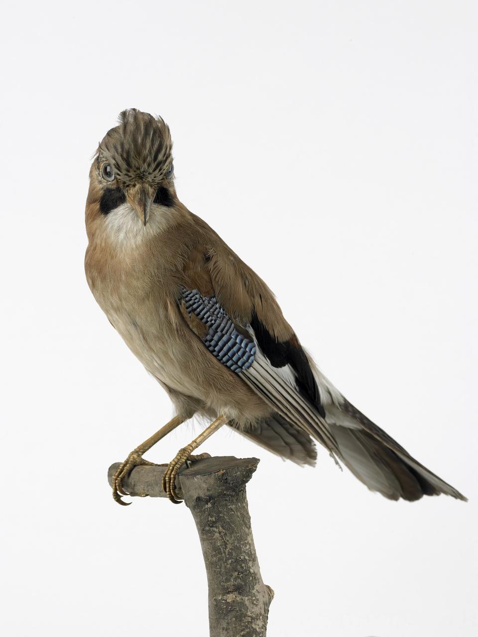 Garrulus glandarius (Linnaeus, 1758), Vlaamse gaai, opgezette vogel