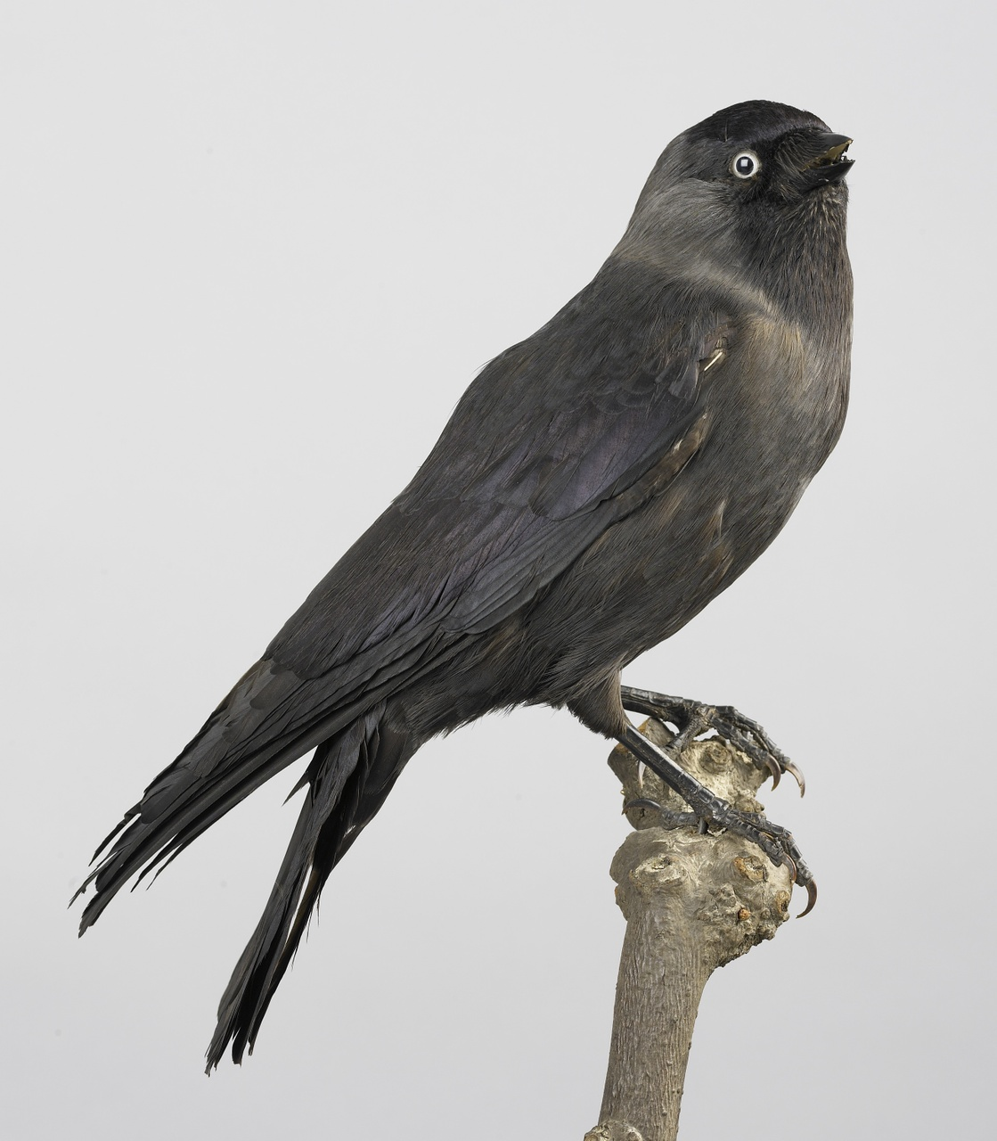 Corvus monedula Linnaeus, 1758, Kauw, opgezette vogel