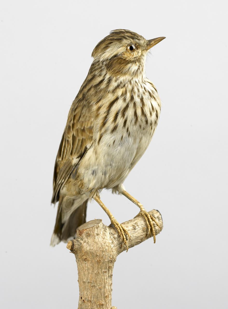 Lullula arborea (Linnaeus, 1758), Boomleeuwerik, opgezette vogel
