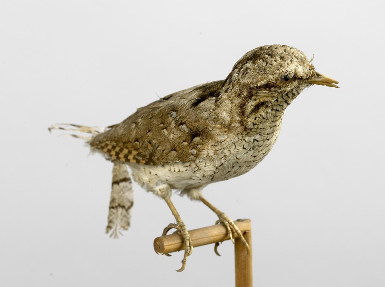 Jynx torquilla Linnaeus, 1758, Draaihals, opgezette vogel