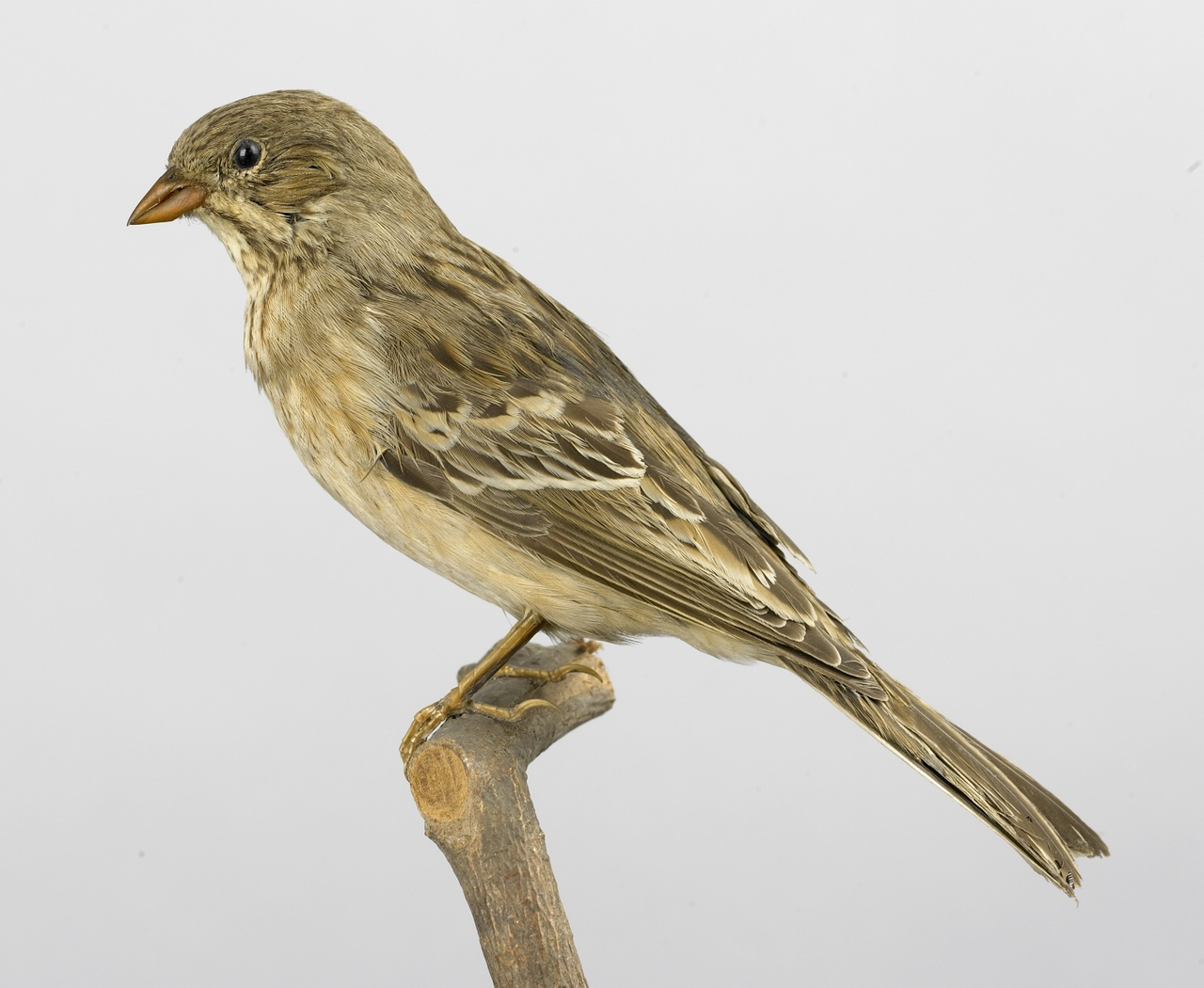 Emberiza hortulana Linnaeus, 1758, Ortolaan, opgezette vogel
