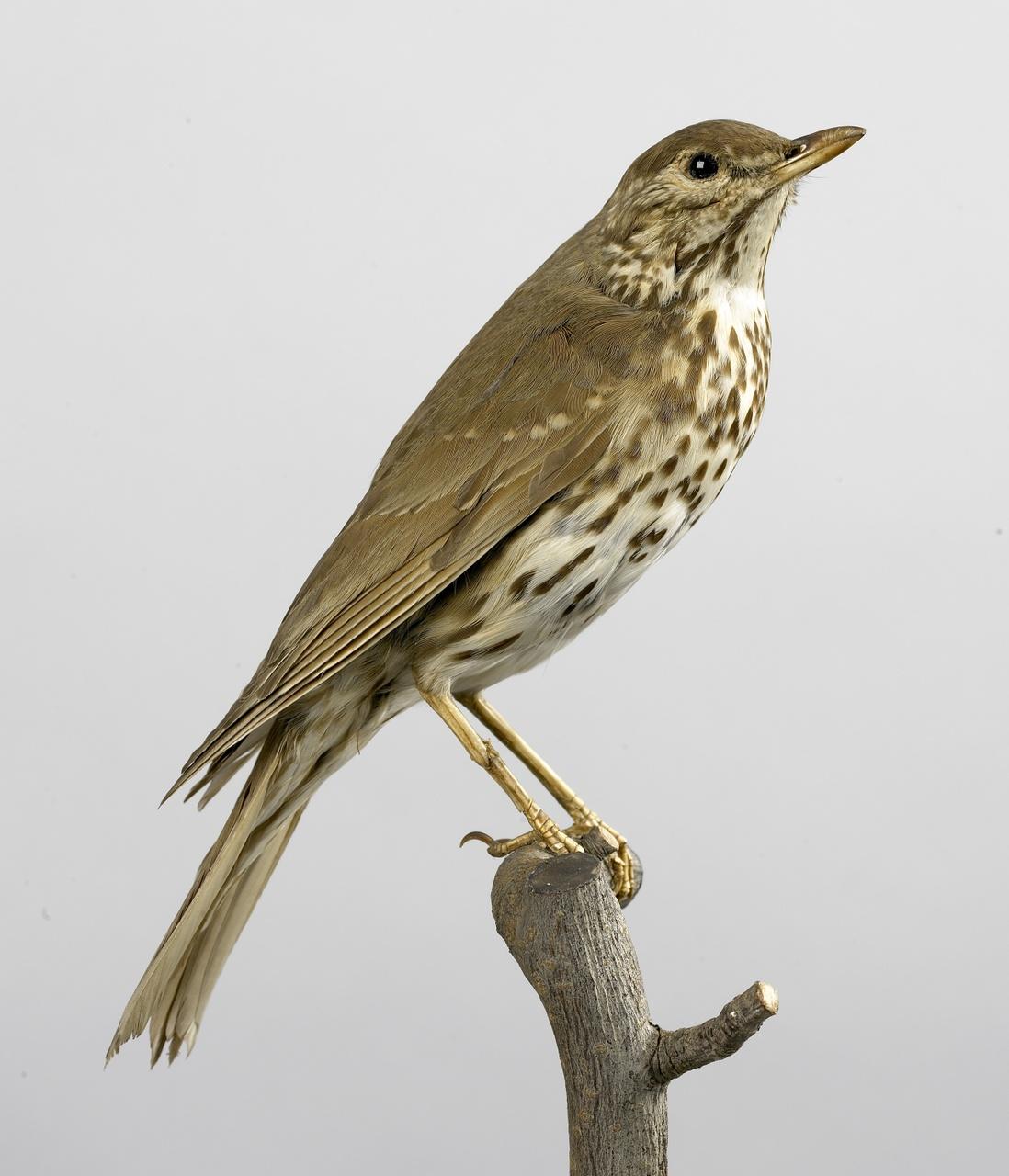 Turdus philomelos Brehm, 1829, Zanglijster, opgezette vogel