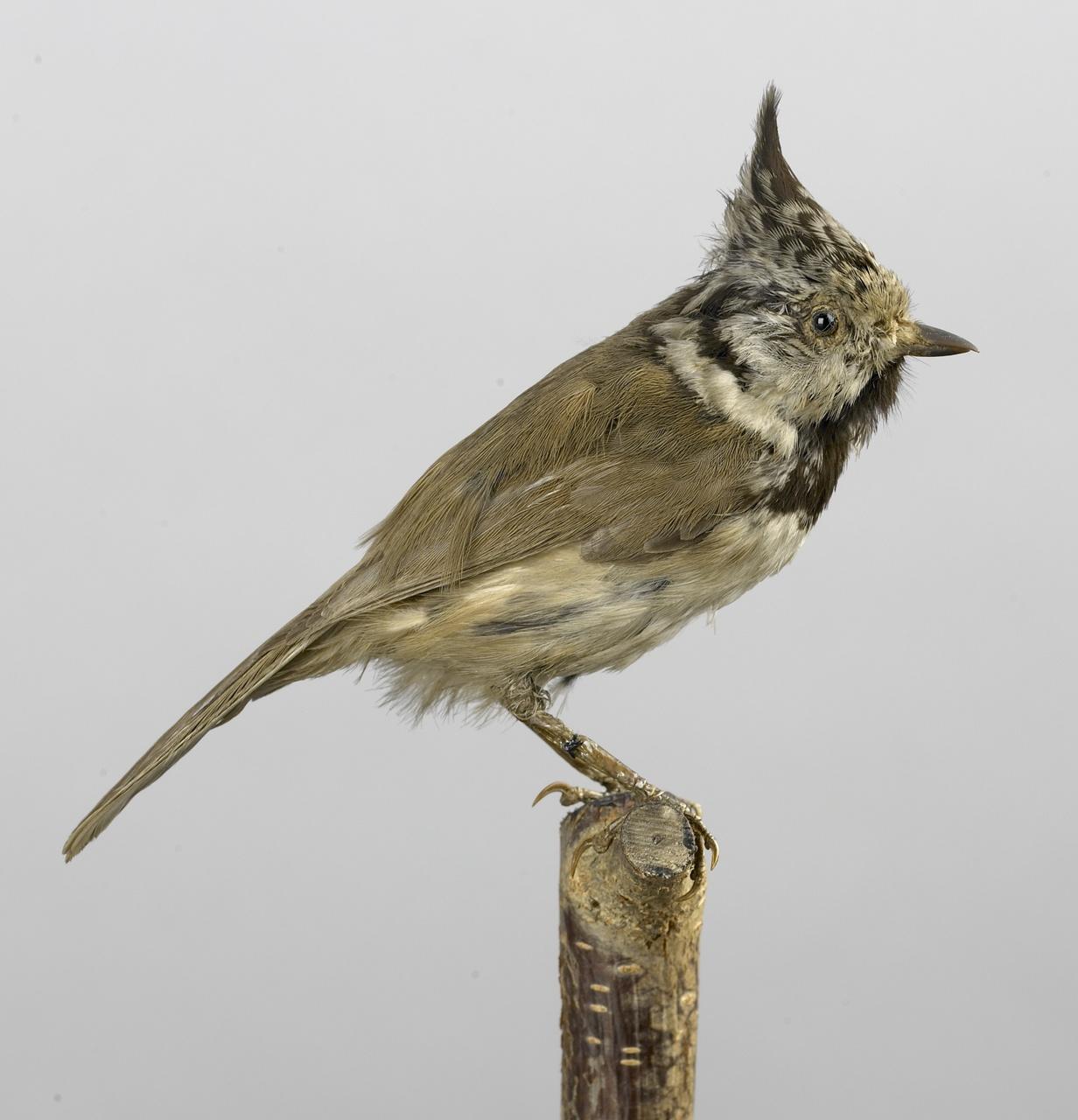 Lophophanes cristatus (Linnaeus, 1758), Kuifmees, opgezette vogel