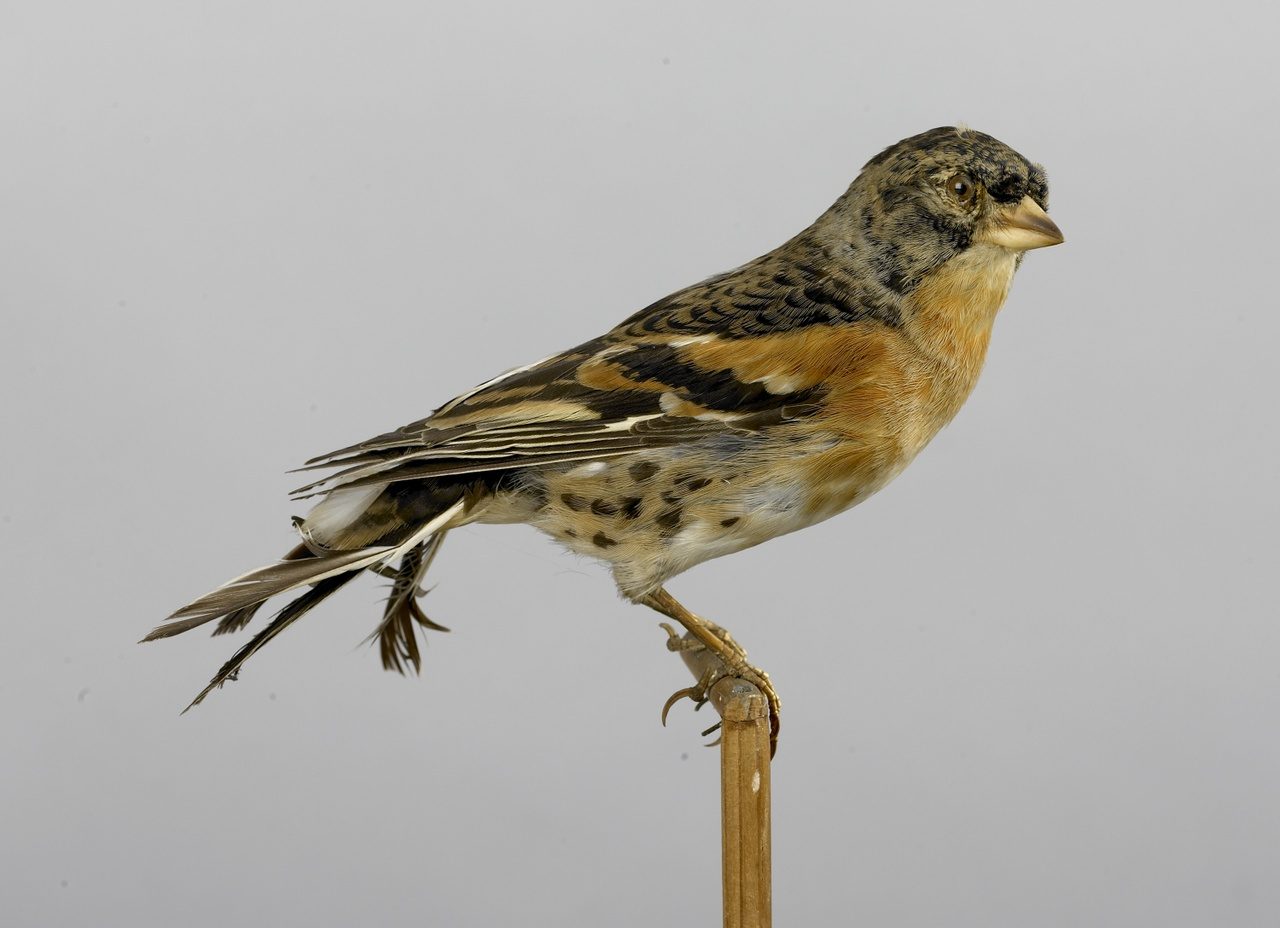 Fringilla montifringilla Linnaeus, 1758, Keep, opgezette vogel