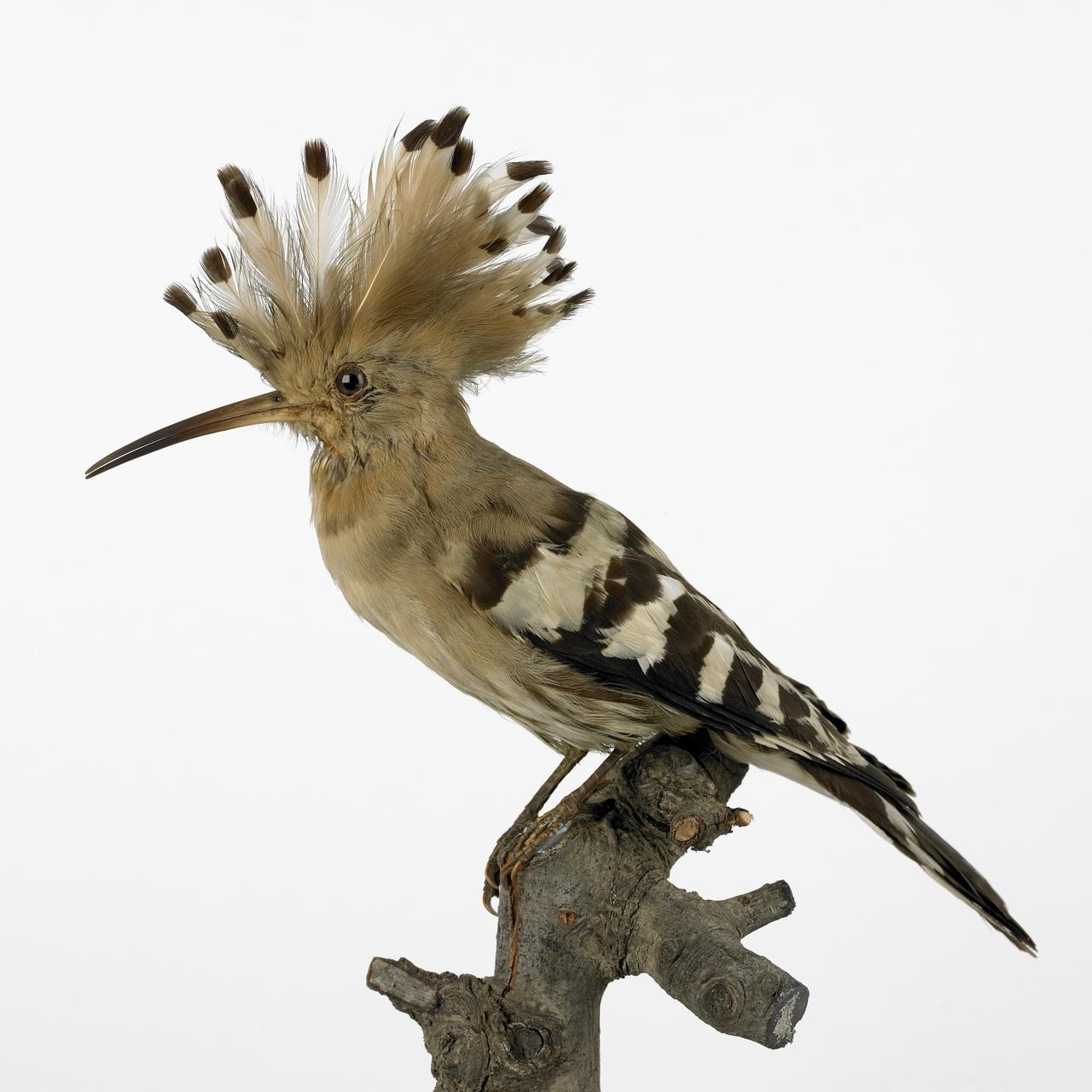 Upupa epops Linnaeus, 1758, Hop, opgezette vogel