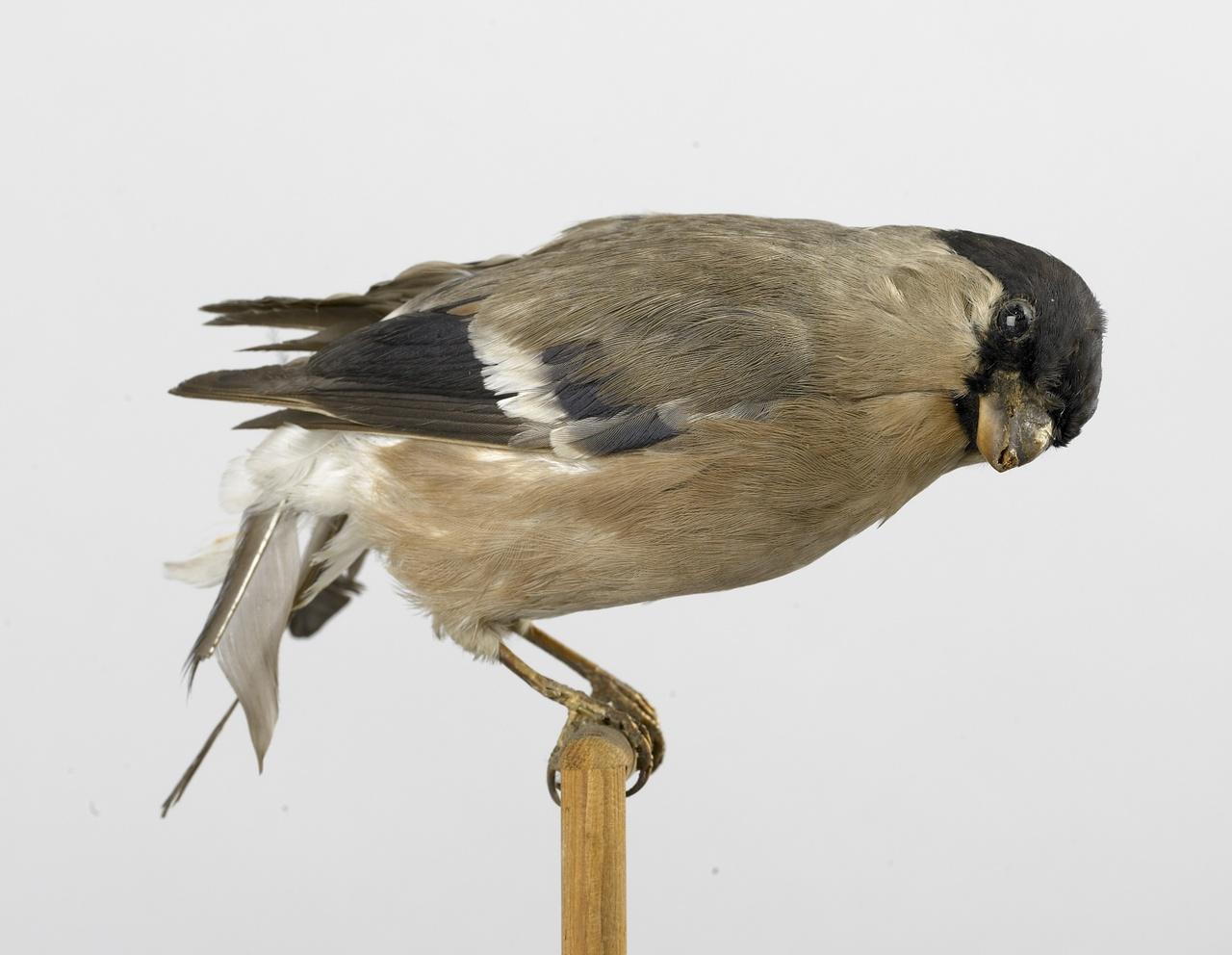 Pyrrhula pyrrhula (Linnaeus, 1758), Goudvink, opgezette vogel