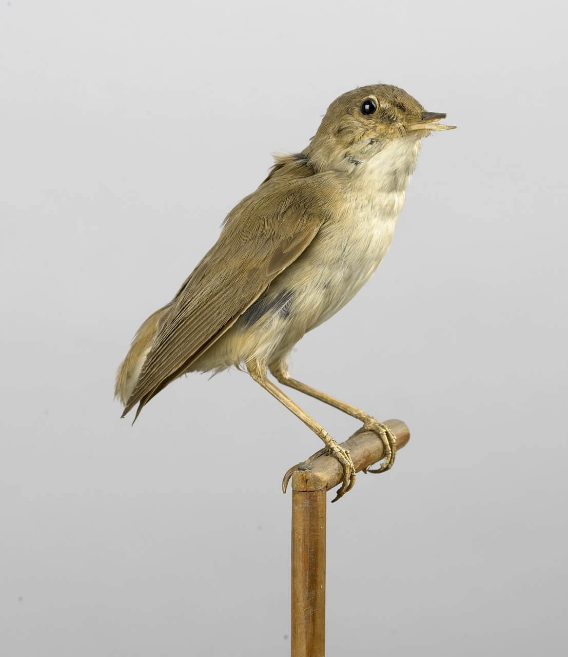 Acrocephalus scirpaceus (Herman, 1804), Kleine karakiet, opgezette vogel