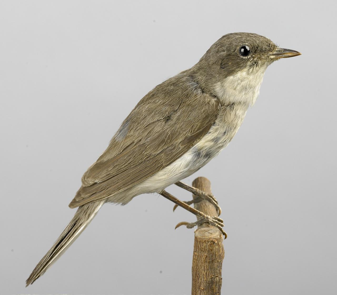 Sylvia curruca (Linnaeus, 1758), Braamsluiper, opgezette vogel