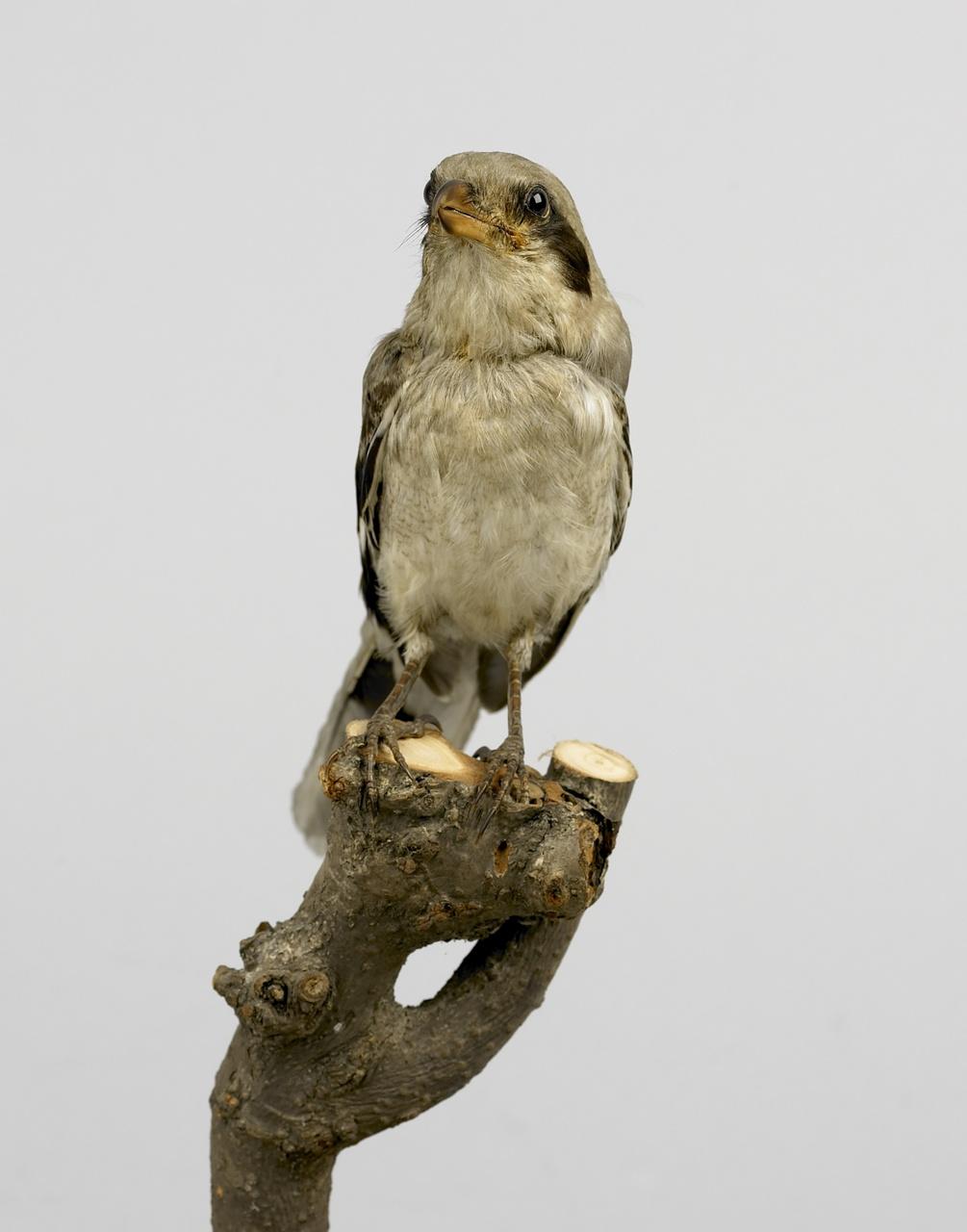 Lanius excubitor Linnaeus, 1758, Klapekster, opgezette vogel