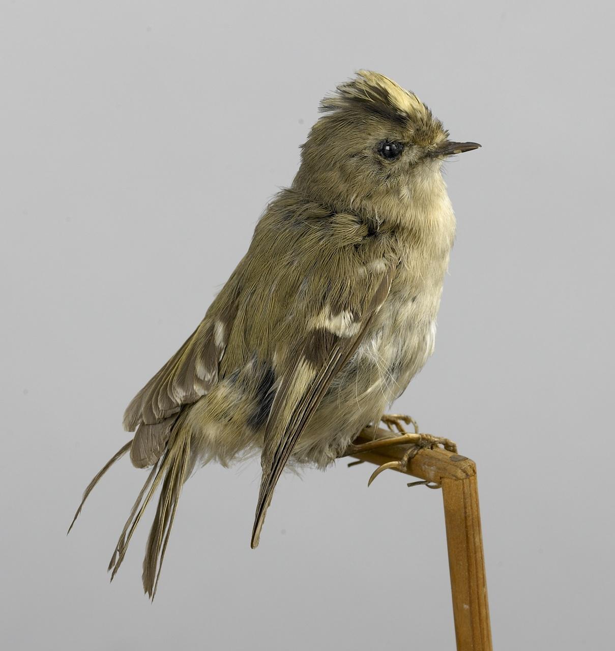 Regulus regulus (Linnaeus, 1758), Goudhaantje, opgezette vogel