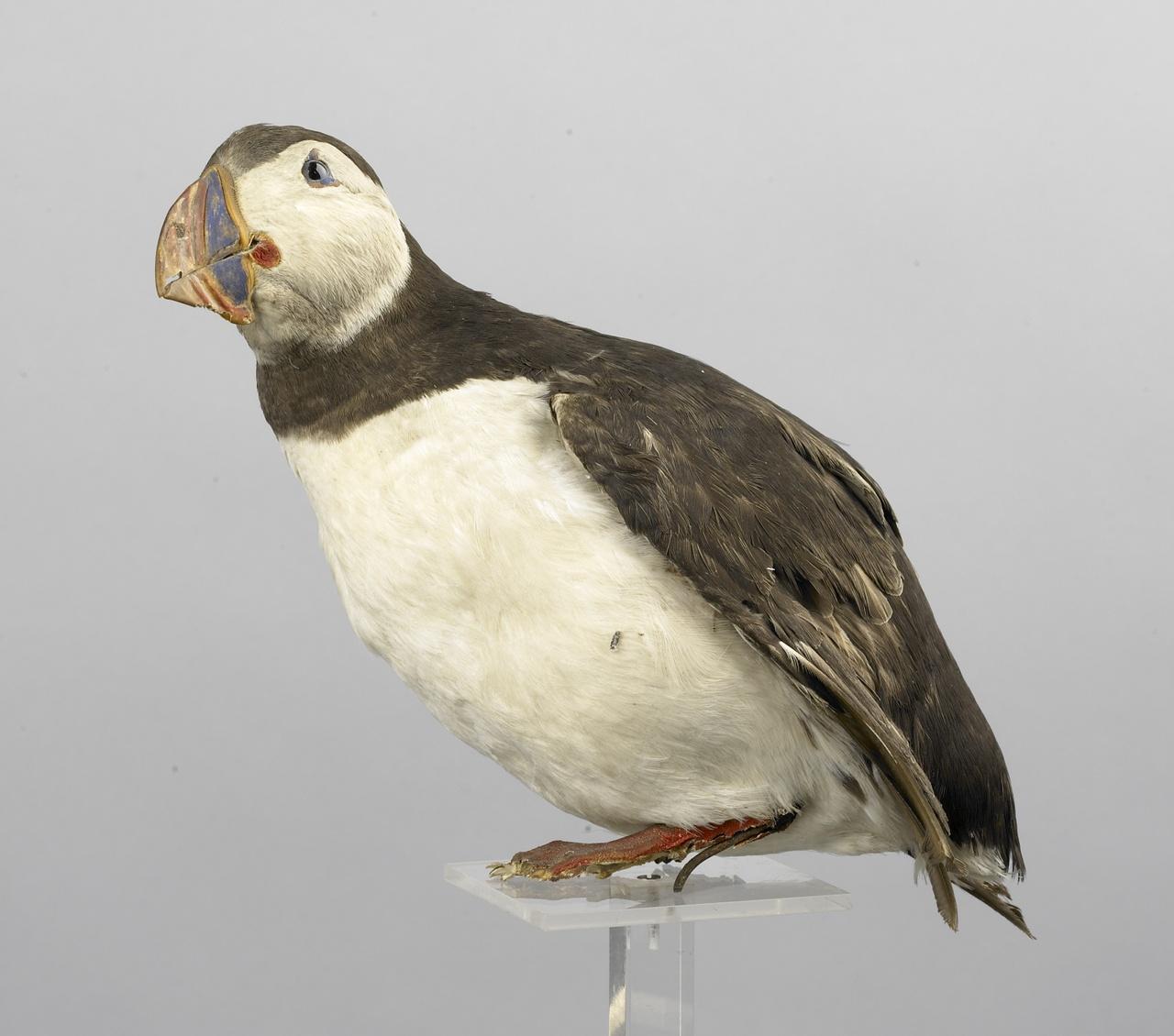 Fratercula arctica (Linnaeus, 1758), Papegaaiduiker, opgezette vogel