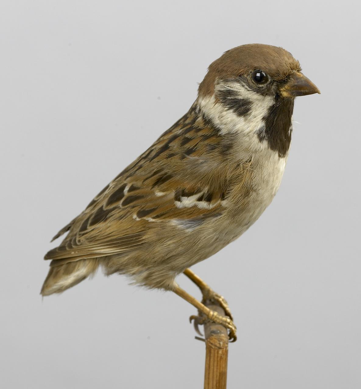 Passer montanus (Linnaeus, 1758), Ringmus, opgezette vogel