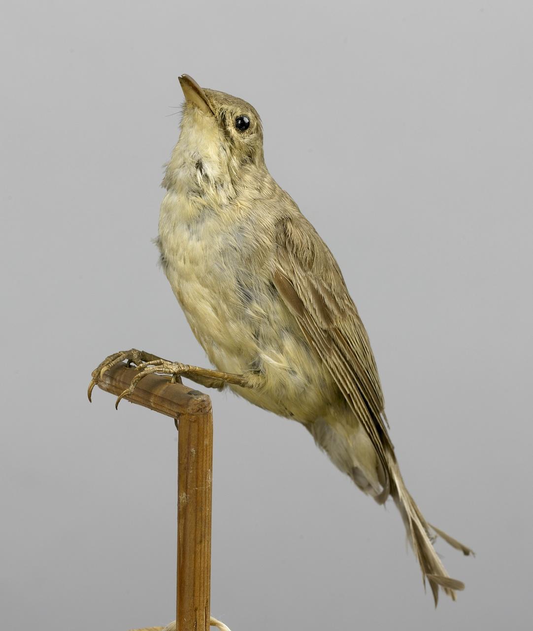Hippolais icterina (Vieillot, 1817), Spotvogel, opgezette vogel
