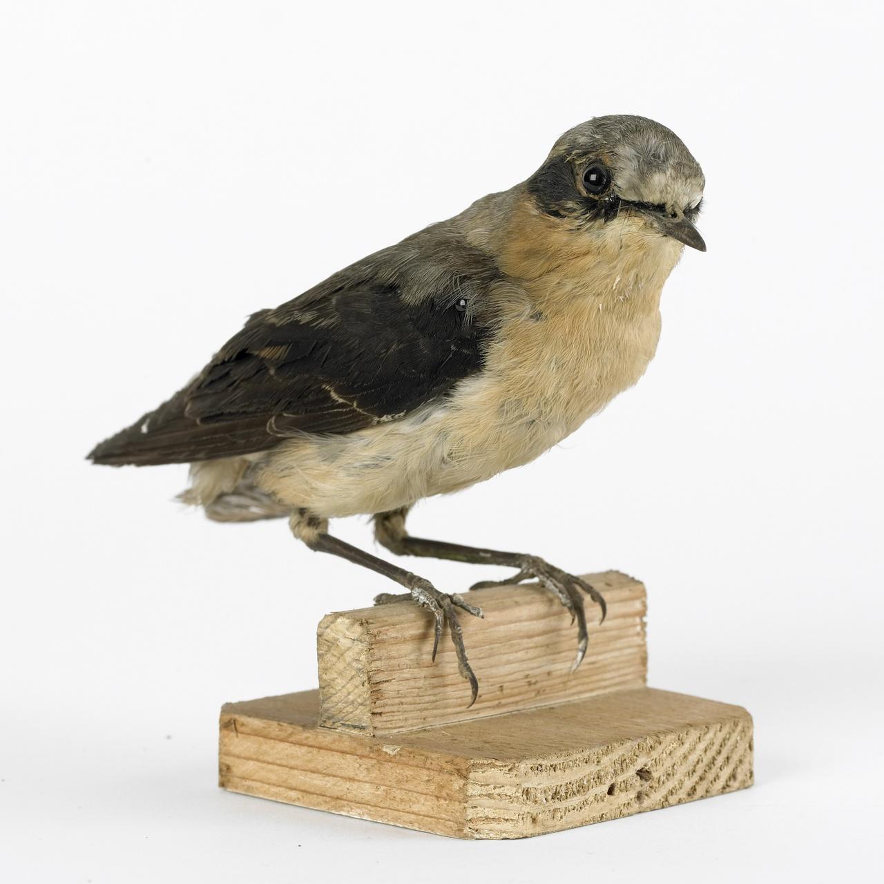 Oenanthe oenanthe (Linnaeus, 1758), Tapuit, opgezette vogel