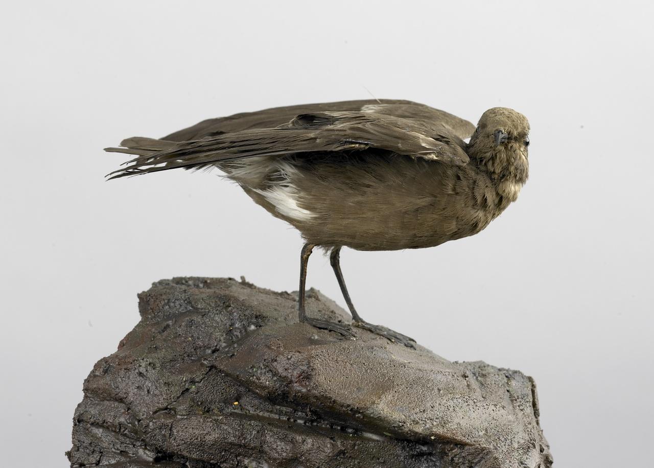 Hydrobates pelagicus (Linnaeus, 1758), Stormvogeltje, opgezette vogel